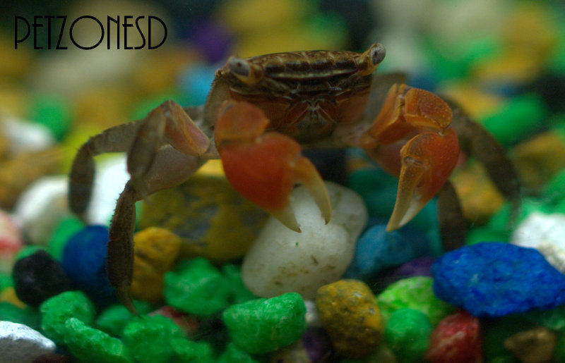 Red Clawed Crab - Freshwater Invertebrate - Aquatic Crab - Freshwater Inverts