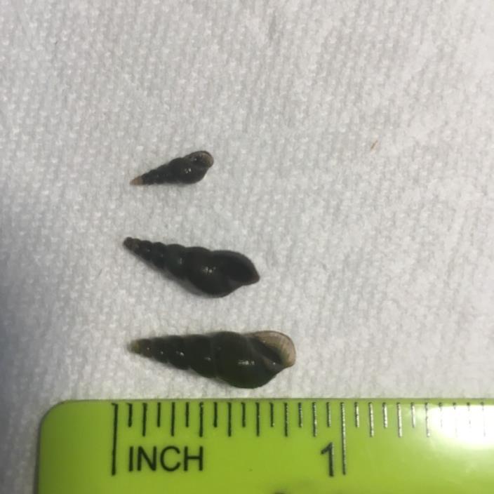 12+ Olive Malaysian Trumpet Snails, Green Bean Fed, Small-Medium, Feeder Size