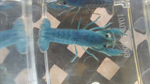 Female Electric Blue Crayfish 2+ inch live fish crawfish crawdad lobster shrimp