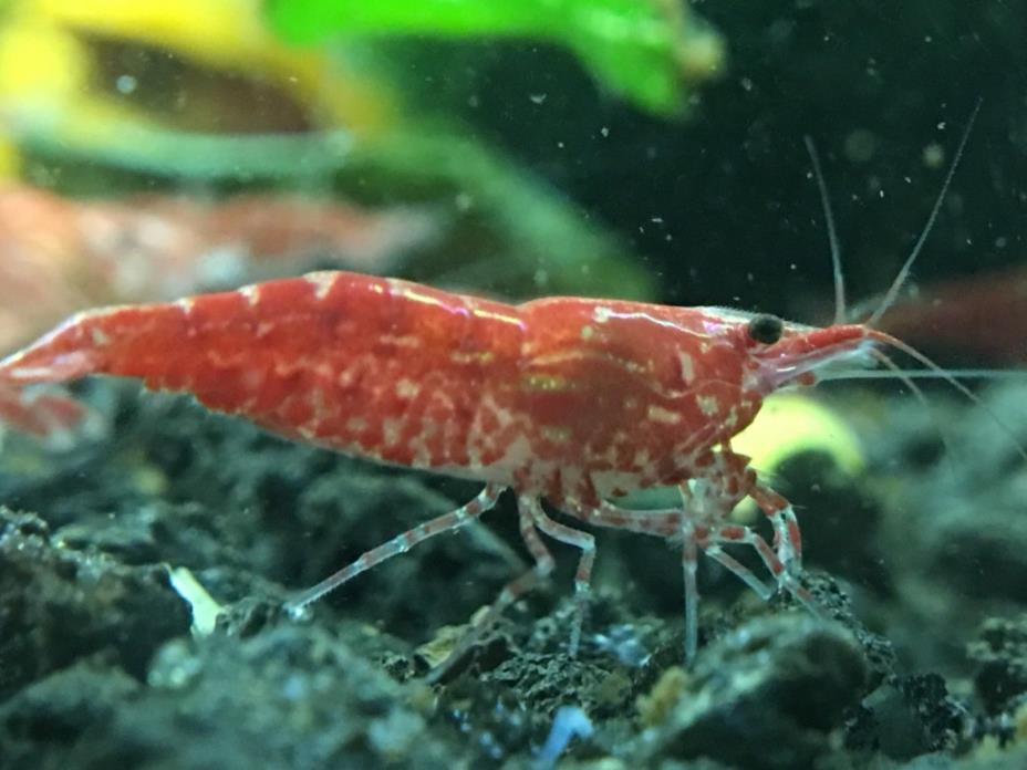 50+1 Red Cherry Shrimp *High Sakura Grade*