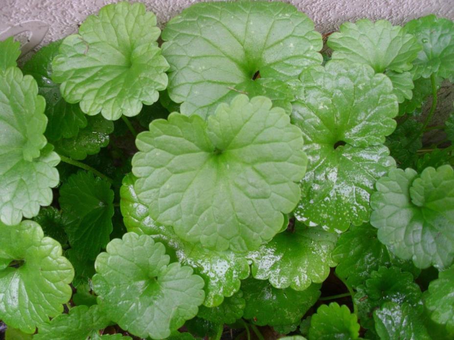 15 Creeping Charlie Live  Plants (PondMarsh/Aquarium Plant)