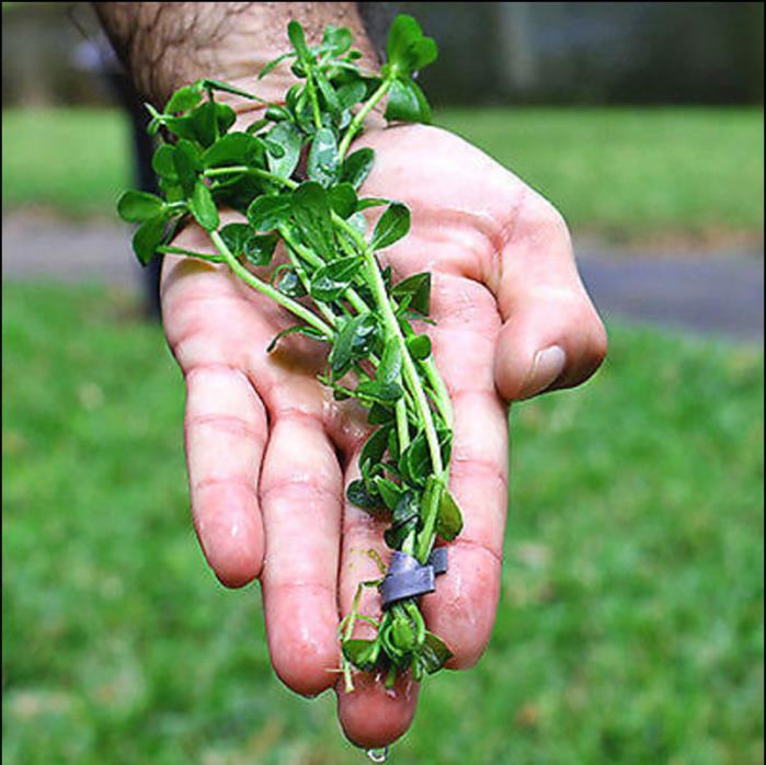 Bacopa monnieri - Moneywort Easy Live Freshwater Aquarium Plants ~{3 Plants}~