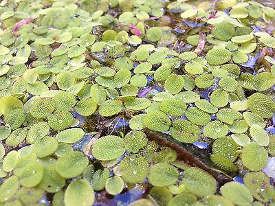 1000+ Salvinia minima, Water Spangles - Live Aquarium or Pond Plant