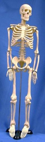 Human Skeleton Model (Half-Sized) 85cm Tall