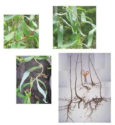 1 Corkscrew Willow Tree, 16+in, Twisted Fast Growing Shade, Ornamental or Crafts
