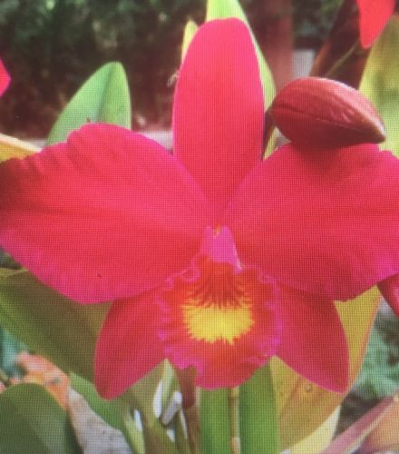 SIN CITY Orchids SLC HSIN Buu Lady Bare Root 1 Sp