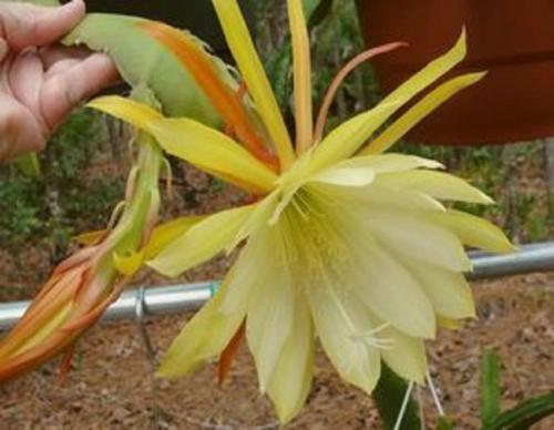 Epiphyllum,Orchid Cactus,
