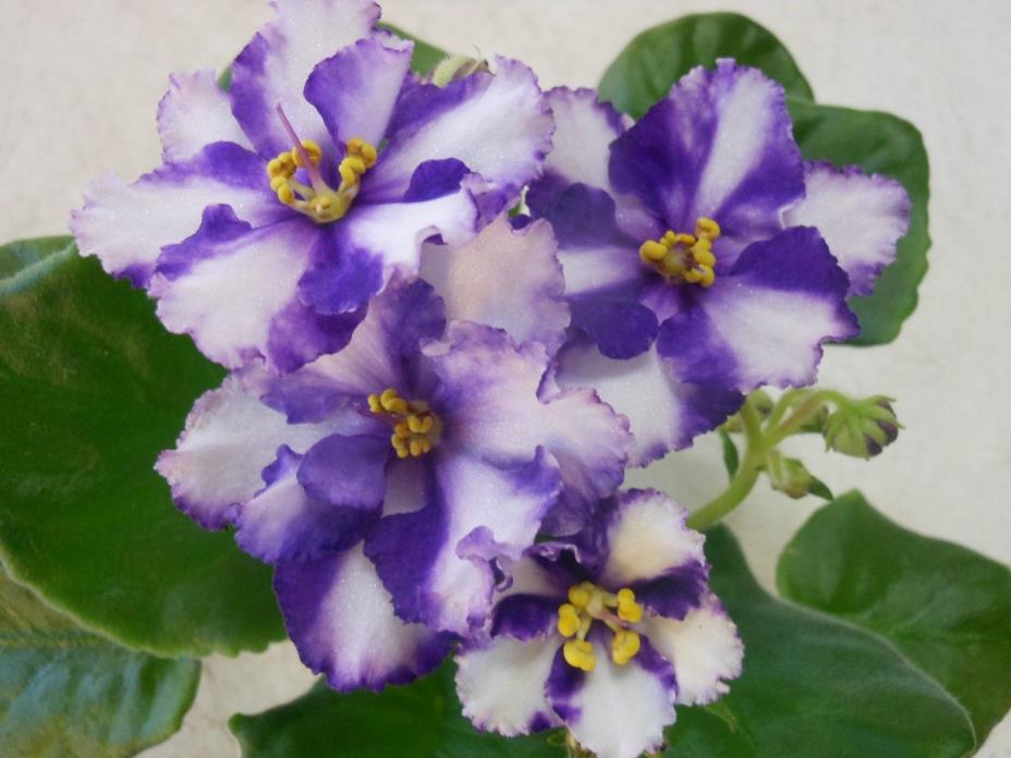 2 fresh cut leaves of Russian african violet  EK 21 Century (EK 21 Vek)