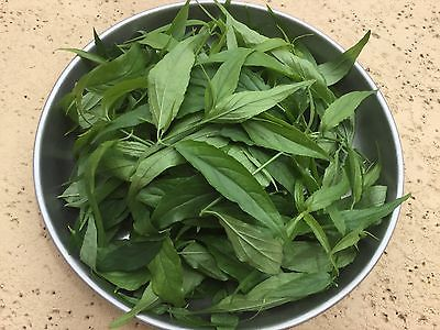 2 oz Fresh Organic Clinacanthus Nutans Sabah Snake Grass Leaves You Dun Cao ???