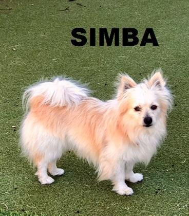 Adopt Simba a American Eskimo Dog, Pomeranian