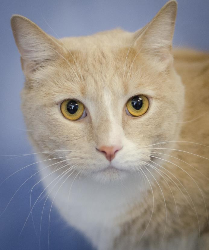 Adopt Nigel (ID 17152/179) a Domestic Short Hair