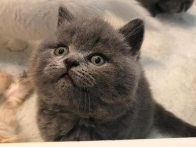 Scottish Fold And British Shorthair Blue Kittens