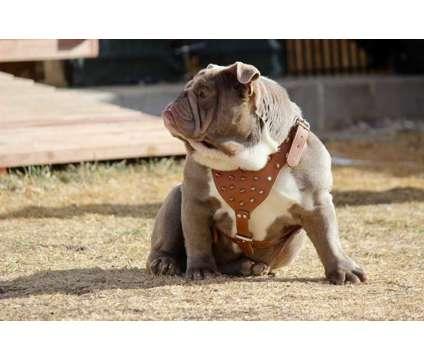 Mini Lilac Seal Tri CarrierEnglish Bulldog STUD SERVICE