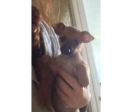 Doxie/ Morkie Mix Puppy to a good home