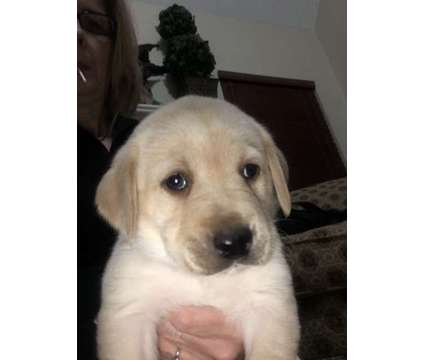 AKC Registered Yellow Lab Puppies