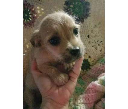 Morkie Babies for sale