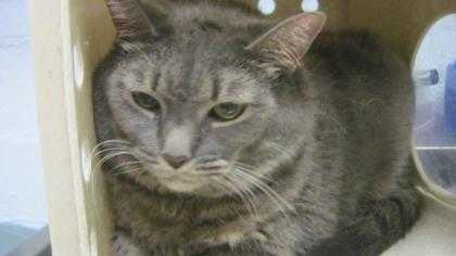 Adopt Miley a Gray or Blue Russian Blue / Domestic Shorthair / Mixed cat in