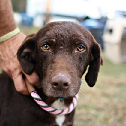 Adopt Trouble a Brown/Chocolate Labrador Retriever / Mixed dog in Atlanta