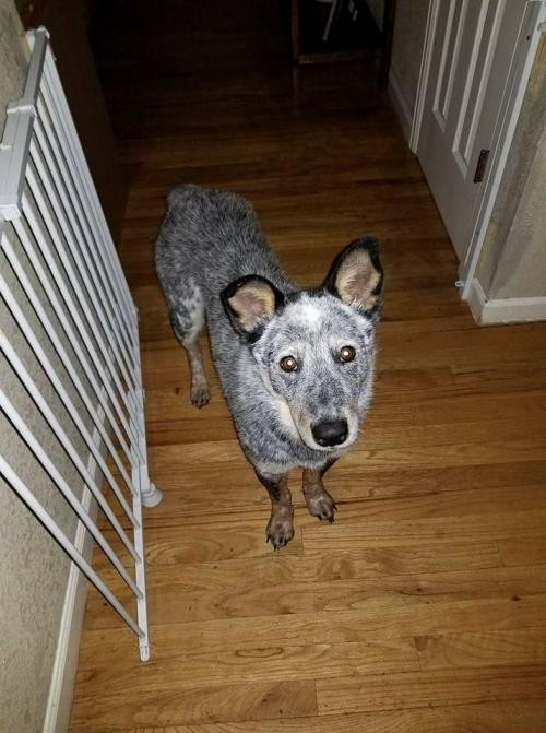 Adopt Harold (Harry) a Australian Cattle Dog / Mixed dog in Westminster