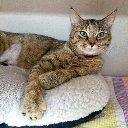 Adopt Curtsee a Brown or Chocolate Domestic Shorthair / Domestic Shorthair /
