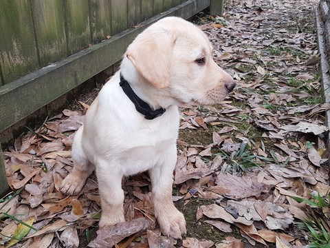 Labrador Retriever PUPPY FOR SALE ADN-63203 - AKC Male Labrador Retriever