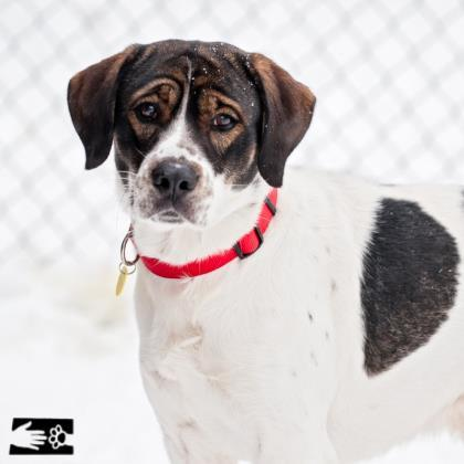 Adopt Spock a White Mixed Breed (Medium) / Mixed dog in South Burlington