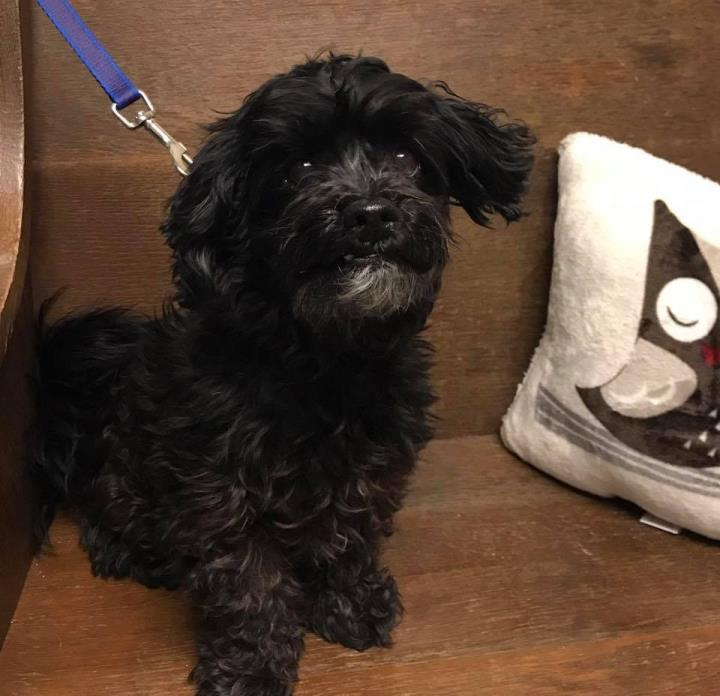 Adopt Sammie a Black Poodle (Miniature) / Mixed dog in Whitehall, PA (20576560)