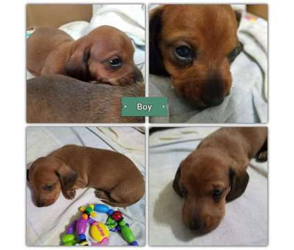 Dachshund puppy male ready for Valentine's day❤❤❤❤❤