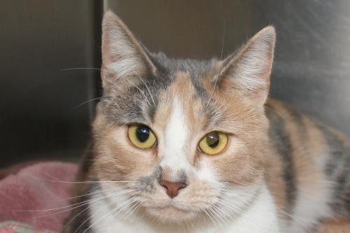 Adopt Misfit a Calico or Dilute Calico Calico / Mixed (short coat) cat in Salem