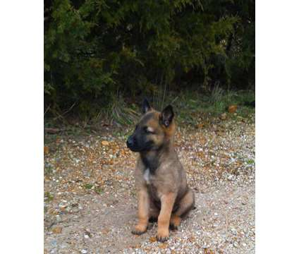 Belgian Malinois puppy for sale Springfield MO Missouri