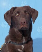 Adopt Tempo aka Ghiardelli a Labrador Retriever