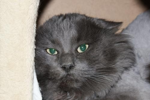 Adopt Jesse a Gray or Blue Domestic Longhair / Mixed cat in Salem, MA (20576672)