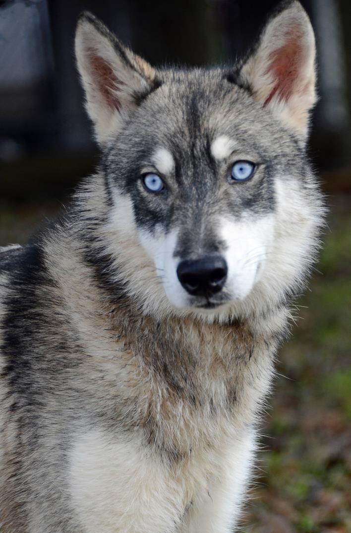 Adopt MISTY a Husky, Shepherd