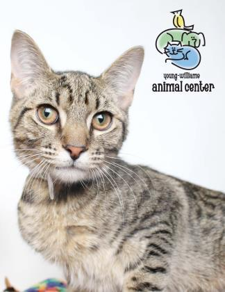 Adopt Hoyt a Domestic Short Hair