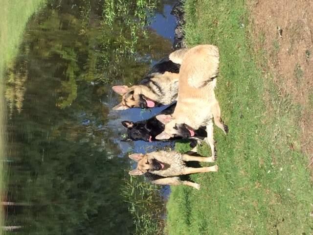 Rare Amazing Shepherd, Service Dog Training
