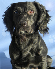 Adopt Noel a Labrador Retriever, Cocker Spaniel