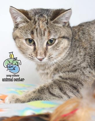 Adopt Phoebe a Domestic Short Hair, Torbie