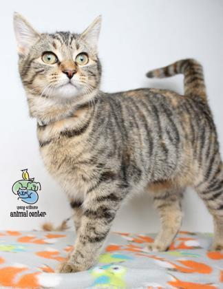 Adopt Rachel a Domestic Short Hair