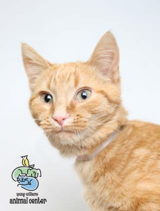 Adopt Bo a Domestic Short Hair