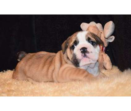trtdysths AKC registered GEnglish bulldog puppies available