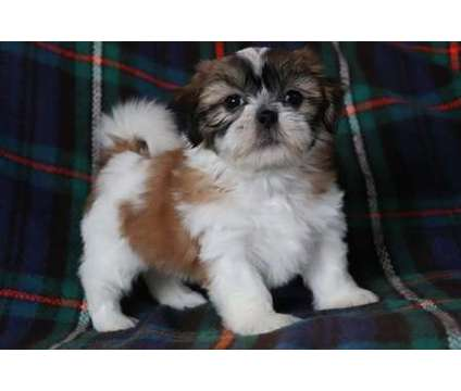 jkgkyfud AKC registered Shih tzu puppies available