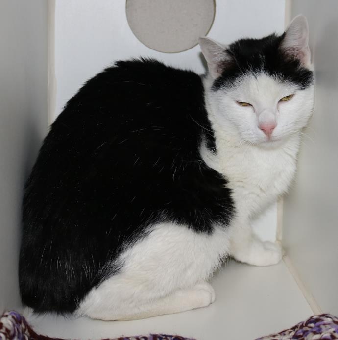 Adopt Junior a Domestic Short Hair