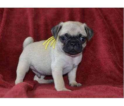 bffdhjyd AKC registered Pug puppies available