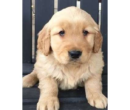 gjytcj AKC registered Golden Retriever puppies available