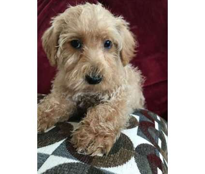 westie poo males and females