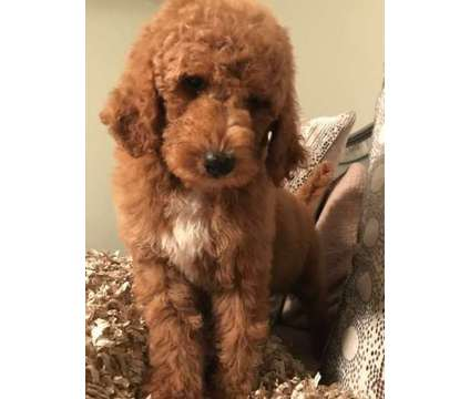 Goldendoodle f1b male and females