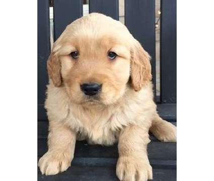 jhgkyt AKC registered Golden Retriever puppies available