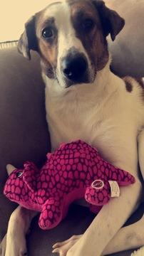 Labrador Retriever-Greyhound Mix DOG FOR ADOPTION ADN-61658 - Sweet Greyhound