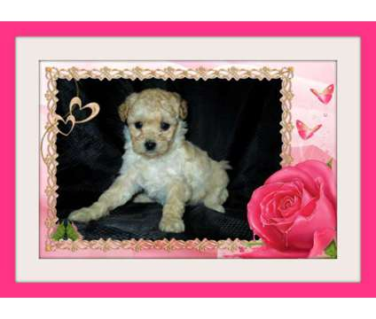 Extremely Beautiful Maltese Mixed with Poodle Pups in San Jose