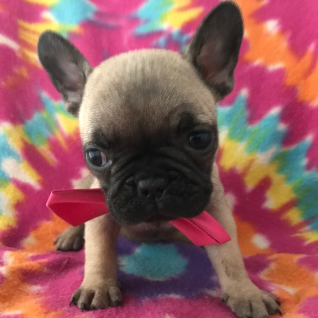 French Bulldog PUPPY FOR SALE ADN-61342 - AKC Barb